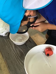 孵化幼虫を水槽に入れる作業 (1).jpg
